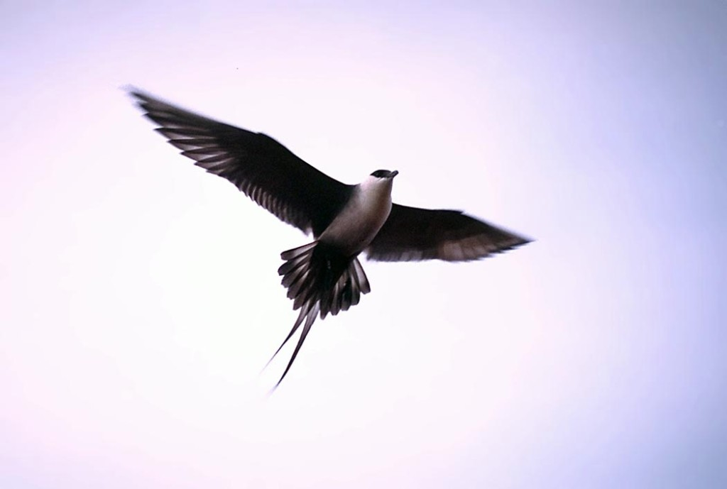 Long tailed skua in flight