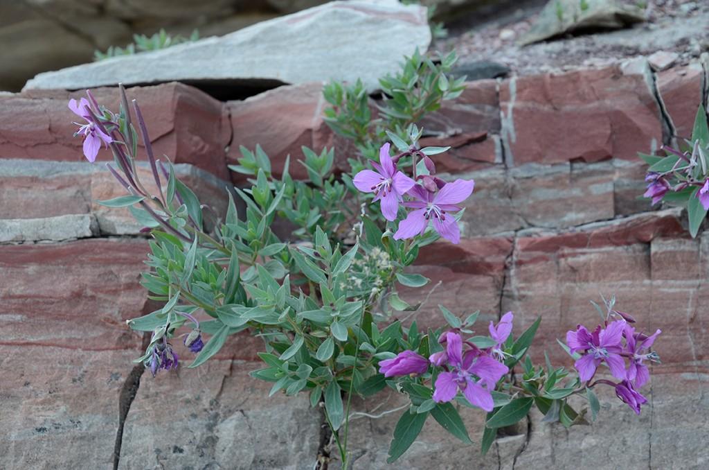 Storblomstret gederams (lat. Chamaenerion latifolium)