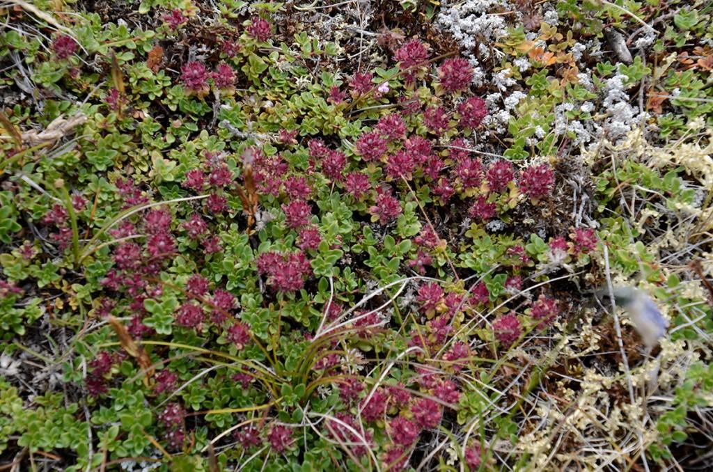 Stotsk timian (lat. Thymus-praecox)