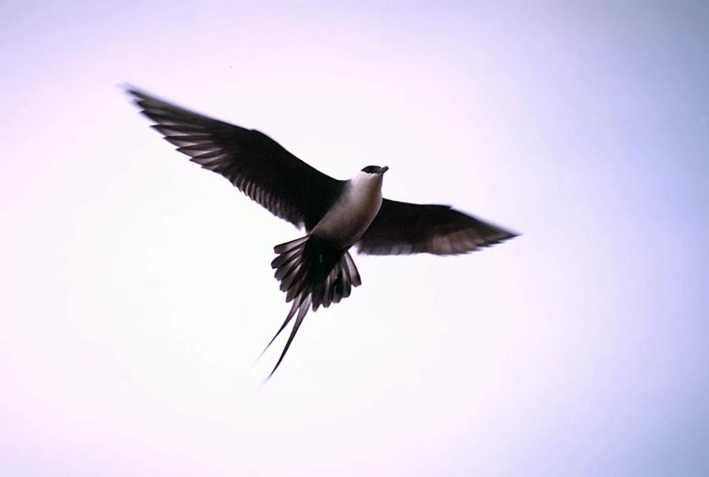 Long tailed skua in flight